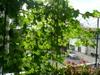 Greencartain
